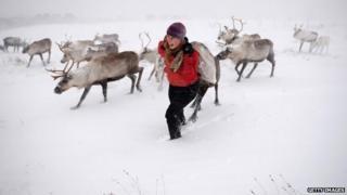 Reindeer in Cairngorms