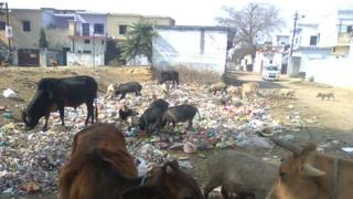 Rubbish heap with cows