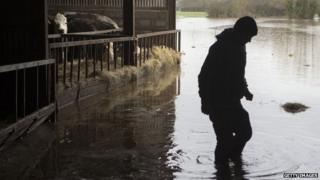A farm worker inspects cattle in the flooded yard at Goodings Farm at Fordgate in Somerset on 6 February 2014