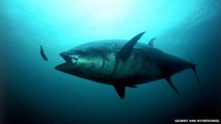 An Atlantic bluefin tuna strikes