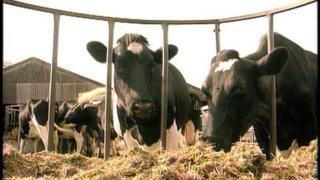 Cattle grazing (generic)