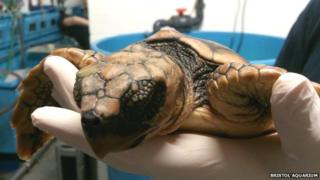 Rescued baby loggerhead turtle at Bristol Aquarium