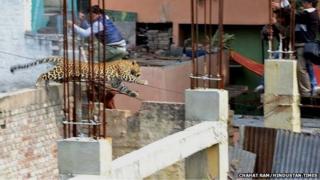 The leopard in Meerut