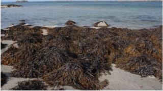 Seaweed on the Jersey coast