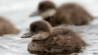 Common scoter chicks at Forsinard
