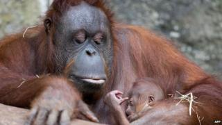 An orang-utan mother holds here baby