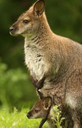 A wallaby and its joey