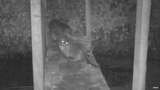 Otters on CCTV