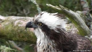 Lady the osprey