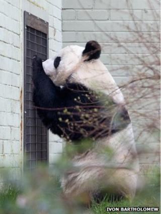Tian Tian was starting to show signs that she was ready to breed