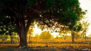 Mango tree, location unkown