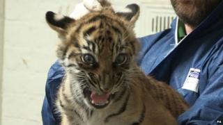 One of the Sumatran cubs