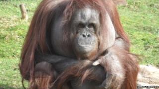 Vicky the orangutan