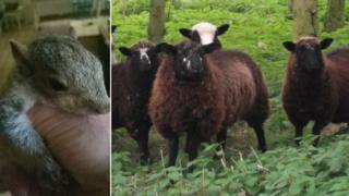 Squirrel and Herdwick sheep