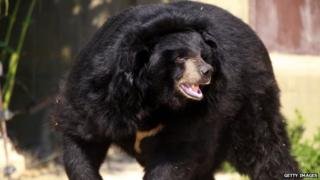 Photo of an Asian black bear who is housed in a zoo in the African reserve of Sigean