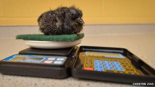 Wokam a white-naped pheasant pigeon chick sitting on a scouring pad while being weighed