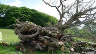 Part of the felled Pontfadog oak