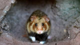 The Great Hamster