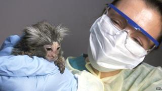 Laboratory monkey