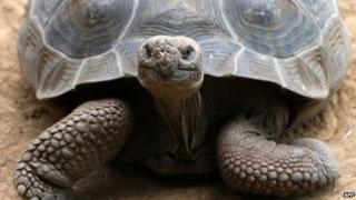 A Galapagos giant tortoise. File photo