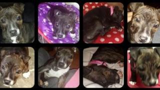 Photographs of stolen puppy