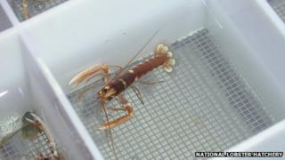 A juvenile lobster at the hatchery