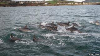 Dolphins near the coast of Douglas, Isle of Man