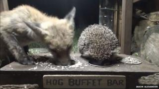 A fox and a hedgehog eating together