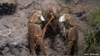 White-clawed crayfish