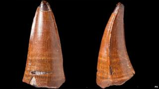 The fossilised tooth (front and side) of the Dakosaurus maximus