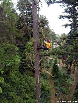 Worker climbing Scots pine tree