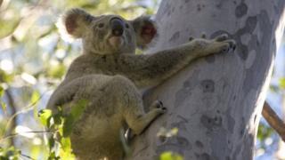 Koala hugging a tree