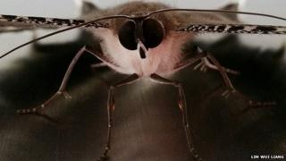A Lyssa zampa moth rests on a table in Singapore
