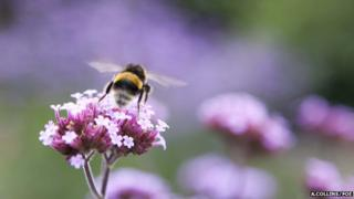 Bumblebee (Image: Amelia Collins/Friends of the Earth)