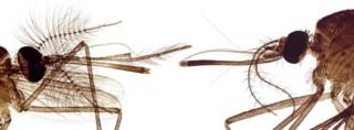 male and female mosquito heads
