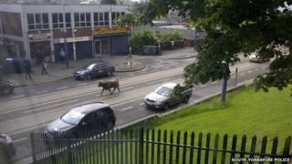Escaped cow