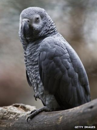 African grey parrot in Mexico