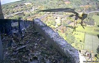 Peregrine falcon at Norwich Cathedral