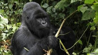 A mountain gorilla in Virunga National Park in the Democratic Republic of Congo