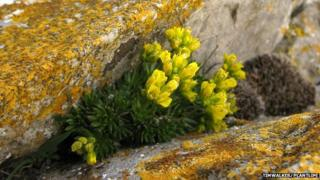 yellow whitlowgrass