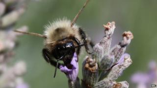 File image of a bee in a British garden