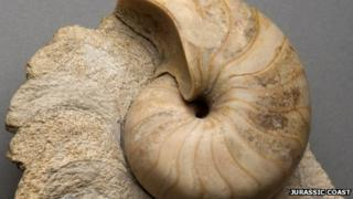 A fossilised nautilus