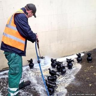 Cheltenham's emblem pigeons being cleaned