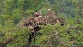 The third osprey nest