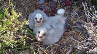 Orphaned hen harrier chicks
