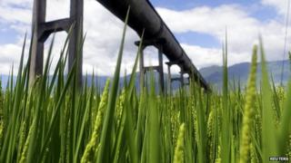 Water channel passing over a rice field (Image: Reuters)