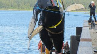 Humpback whale being lifted out of the sea at Mull