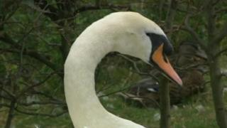 Swan which recovered after being shot with crossbow