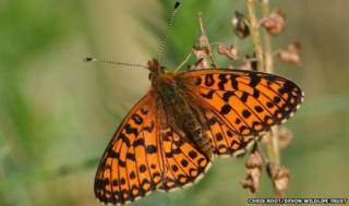 Small pearl-bordered fritillary butterfly (Pic: Chris Root/Devon Wildlife Trust)