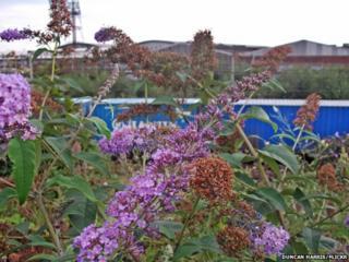 Buddleia at Willesden Junction